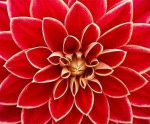 Blüte Goldener Schnitt